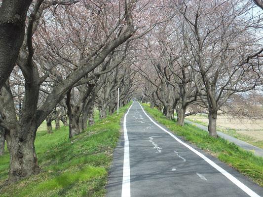 桜堤公園のソメイヨシノはまだつぼみでした。