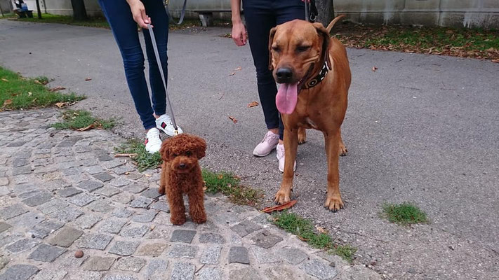 Musha und der Maltipoo Teddy, den wir in der Hundezone im Volkspark getroffen haben