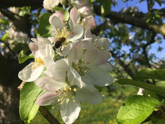 12.04.2017 Apfelblüte