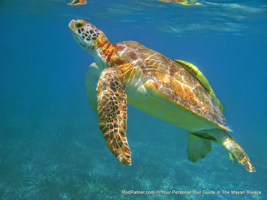 Marine Turtles are gentle.