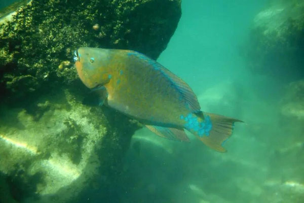 Giant Rainbow Parrot Fish.