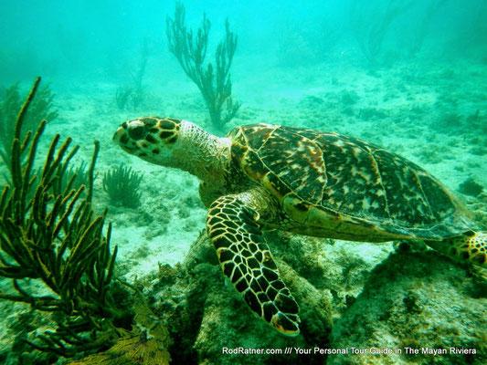 Rare Hawks-bill Turtle on the Reef.