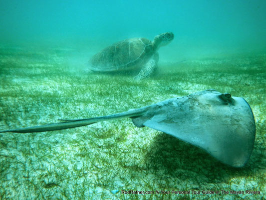 Get lucky and spot a harmless Stingray.