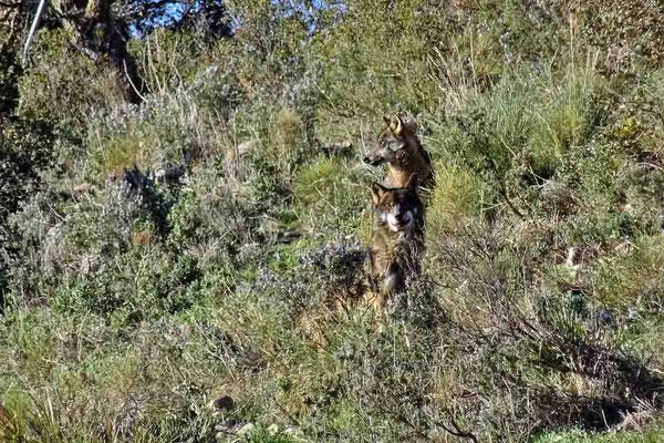 Iberische Wölfe im Lobopark Antequera