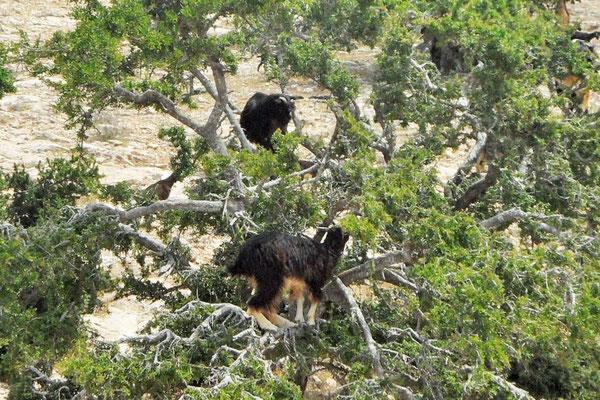 """""""Glückliche"""" Ziegen - aus eigenem Antrieb im Baum."""