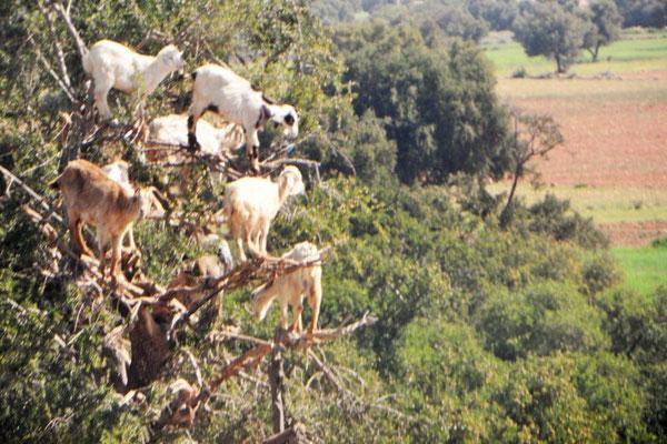 """""""Arme"""" Ziegen auf kahl gefressenem Baum."""