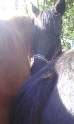 Emmélage de poneys...