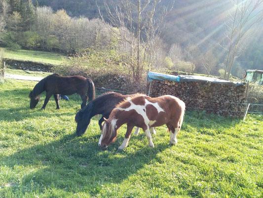 Premère mise à l'herbe des poneys