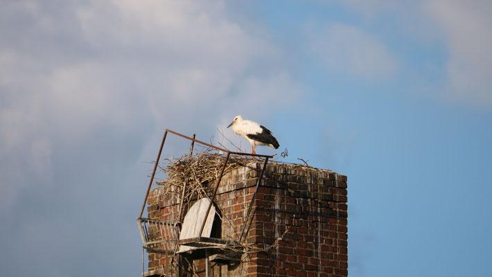 Der Jungvogel ist gut an seinem schwarzen Schnabel zu erkennen (Foto: Martin Kallabinsky)