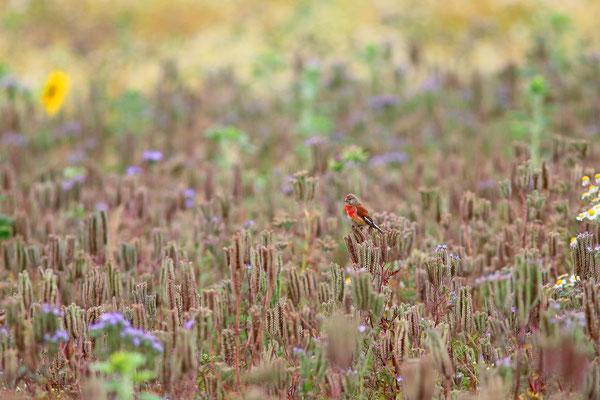 Die farbenfrohen Hänflinge besuchen regelmäßig die Blühfläche (Foto: O.Schreiter)