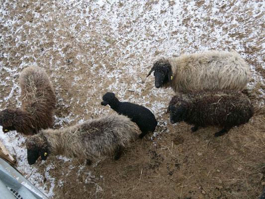 Nachwuchs bei den Karakulschafen (Foto: NABU-Oberbiel)
