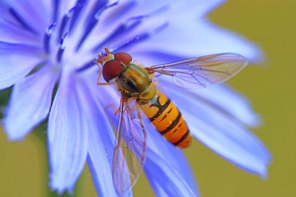 Schwebfliege auf Wegwarte (Foto: O.Schreiter)