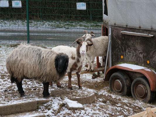 der Schafbock und die beiden Ziegen (Foto: NABU-Oberbiel)