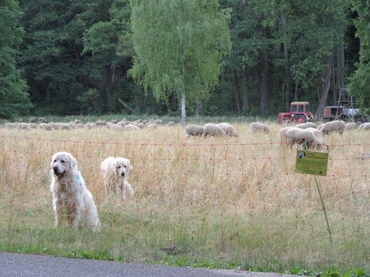 Herdenschutzhunde bei der Arbeit