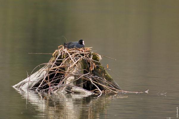 FOUQUE MACROULE adulte sur son nid
