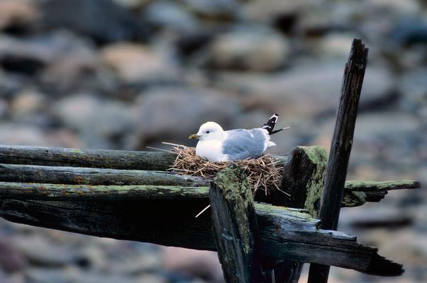 GOÉLAND CENDRÉ sur son nid
