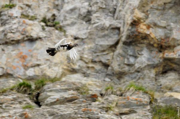 LAGOPÈDE ALPIN mâle en vol