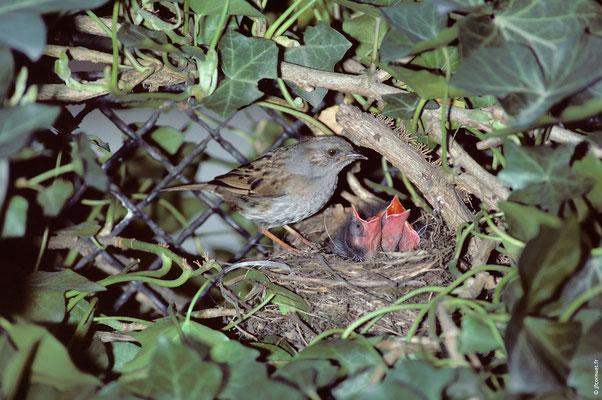 ACCENTEUR MOUCHET nid