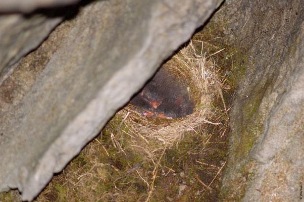 ACCENTEUR ALPIN nid avec poussins