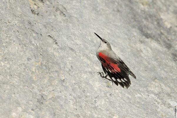 TICHODROME ÉCHELETTE femelle