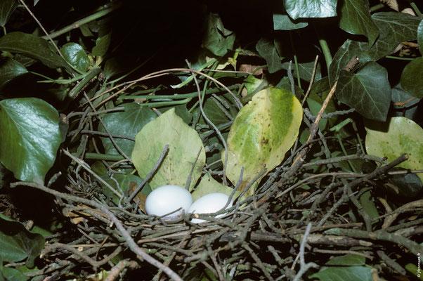 PIGEON RAMIER nid