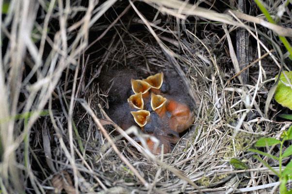 BRUANT DES ROSEAUX nid avec 5 poussins