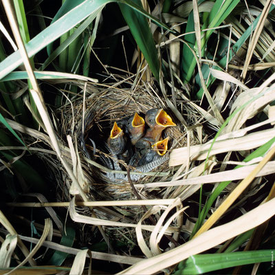 PHRAGMITE DES JONCS nid avec poussins