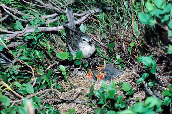 PIPIT SPIONCELLE adulte au nid