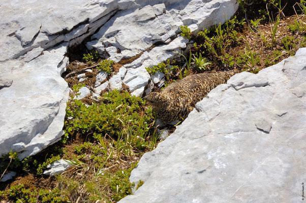 LAGOPÈDE ALPIN femelle sur son nid