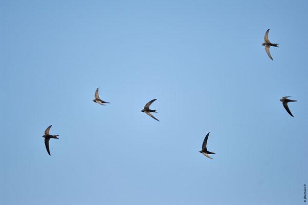 MARTINET NOIR vol en groupe