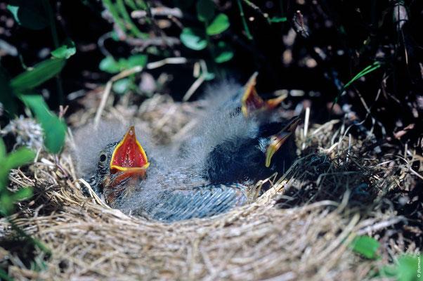 PIPIT SPIONCELLE poussins dans le nid