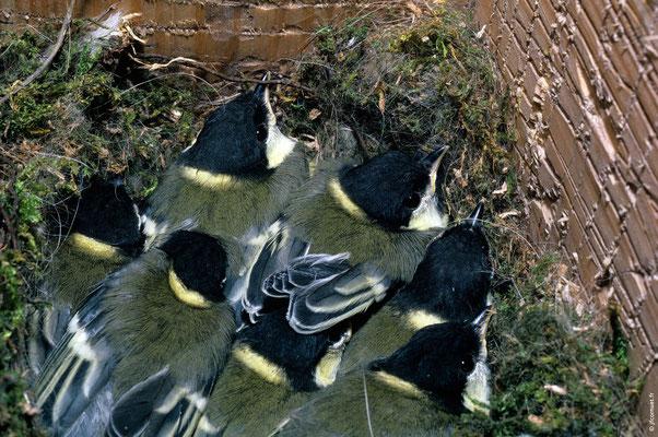 MÉSANGE CHARBONNIÈRE poussins au nid