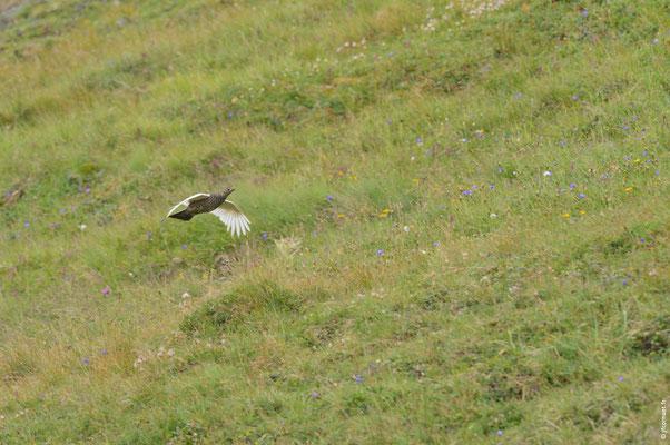 LAGOPÈDE ALPIN femelle en vol