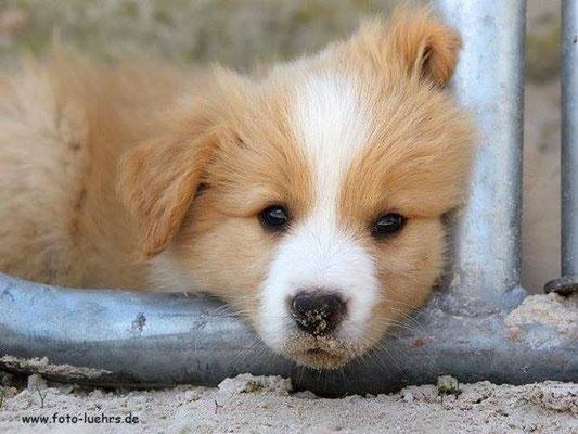 Kleiner Welpe Duke mit 6 Wochen