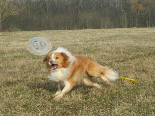 Border Duke beim Frisbee spielen