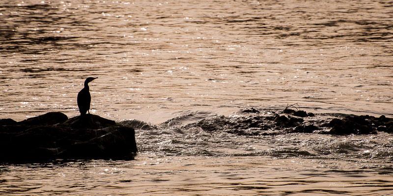 cormoran de garonne
