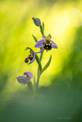Sur fond de soleil - Ophrys abeille
