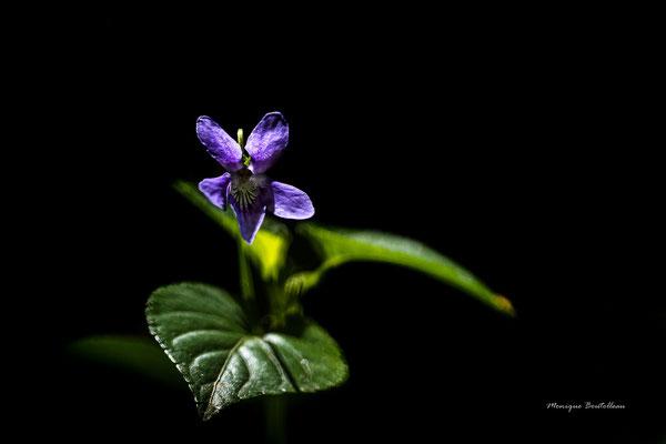 Violette de l'ombre