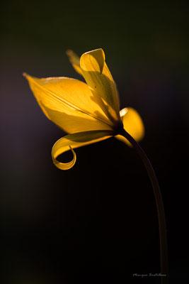 Tulipe des ombres