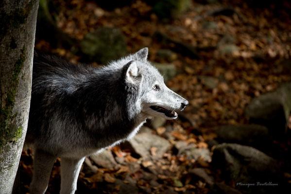 Le loup dans le bois - Parc d'Orlu