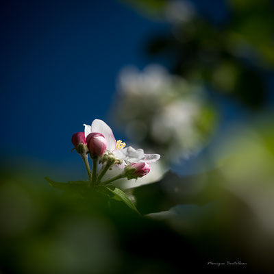 Dans l'ombre du pommier