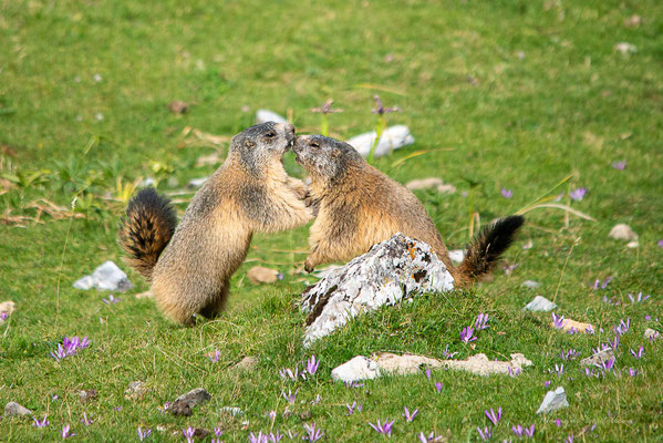 Jeux de marmottes