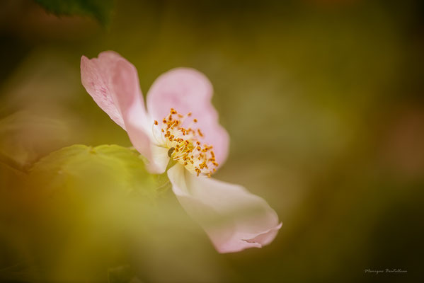 Rose sans épine
