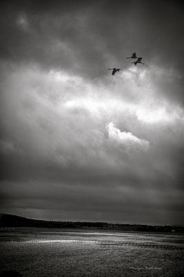 Les oiseaux de Thau