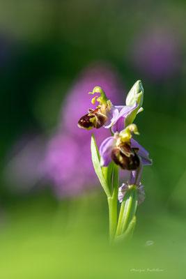 Bain de soleil - Ophrys abeille
