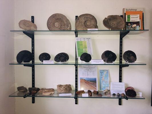 Ammoniten verschiedener Fundorte (obere Regalböden, Richard Brandt Heimatmuseum Wedemark, Sammlung Sommer)