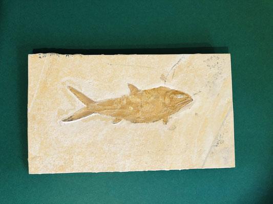 Fisch im Plattenkalk (Richard Brandt Heimatmuseum Wedemark, Sammlung Sommer)