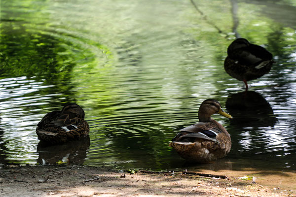 Bathing ducks in a shady pond in a park in Milan.