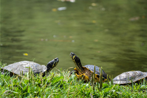 Some sunbathing turtles at the shore of a bigger pond in a park in Milan.