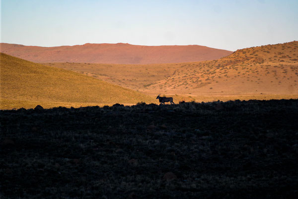 As we drove back home we saw this eland walking across the hill...amazing!